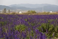 China's largest lavender field outside of Shenyang, capital city of northeast China's Liaoning Province. The park covers an area of 333 hectares.