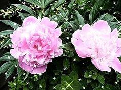 Babcia radzi coś...: PIWONIA - królowa wiosny Nie lubią przenosin. Trzeba im starannie wybrać miejsce, bo nie lubią przesadzania i powinny możliwie jak najdłużej rosnąć w jednym miejscu.