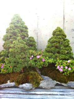 Bonsai, Photo by Michelle Smith - is this one at the NC Arboretum in Asheville, NC?