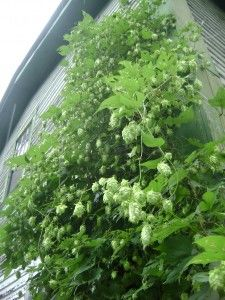 Tips for Growing Hops