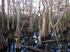 Cypress swamp in Everglades National Park