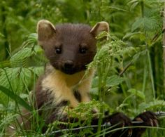 Scottish pine marten by Red Ruairidh Kilts