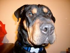 Shar-Pei Rottweiler Mix - How cool is that? Rottweiler Love, Rottweiler Puppies, Bordeaux, Shar Pei Puppies, German Dog Breeds, What Kind Of Dog, Purebred Dogs, Losing A Dog, Mixed Breed