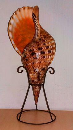 Charonia tritonis. Indonesia