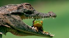 HD wallpaper: alligator and frog, green tree frog sitting on alligator's mouth Funny Frog Pictures, Animal Pictures, Ipad Mini, Crocodile Eating, Reptiles Et Amphibiens, Frog Wallpaper, Frog Sitting, Green Tree Frog, Funny Frogs