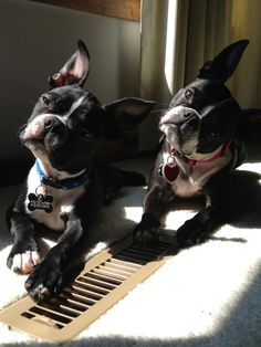 Head Tilting Boston Terrier Dogs - Rex and Rylee from Nebraska, USA (Photo) - http://www.bterrier.com/head-tilting-dogs-rex-and-rylee-from-nebraska-usa-photo/