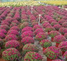 Photo Gallery - AthensPlants - Παραγωγή καλλωπιστικών φυτών