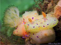 Nudibranch (Ceratosoma brevicaudatum)