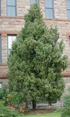 Since Rocky Mountain Juniper is native to Colorado they will be more tolerant of our weather conditions. Better adapted to soil conditions and more beneficial for wildlife value.