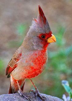 Pyrrhuloxia (Cardinalis sinuatus) #birds
