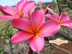 Uncle Ron Plumeria Cutting, Maui Plumeria Gardens