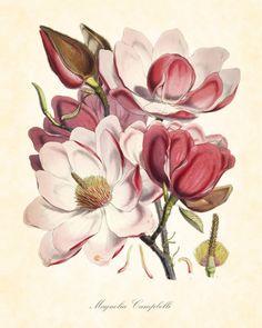 Gallery.ru / Фото #12 - Magnolia soulangeana lennei - Innetta
