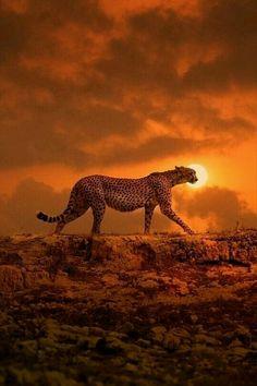 Cheetah at sunset.