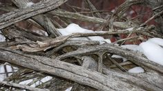 Uprooted cedar tree stump and tree roots with snow.