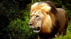 Ein Löwe läuft durch den Dschungel.