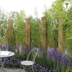 Green Bamboo hedging   Phyllostachys bissetii hedge Plants