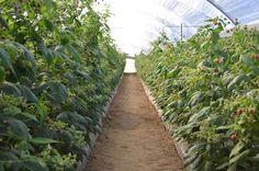Macrotúneles del cultivo de la variedad IMARA