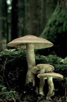 Fae smell like mushrooms when they fly. It's the earth calling back to them, according to Astley