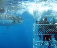 Shark Cage Diving, Eyre Peninsula, South Australia