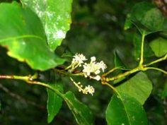Schizomeria ovata