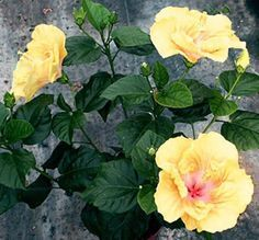 How to Prune Hibiscus