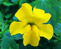 yellow Mimulus