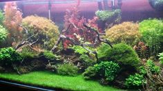 The Planted Tank Forum - View Single Post - Plants Dhg belem, Eriocaulon, Elatine Triandra, and many red and green stems
