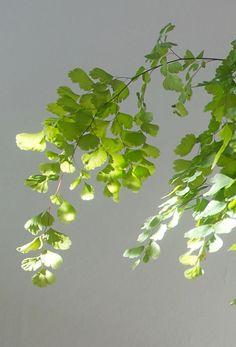 adiantium capillus-veneris