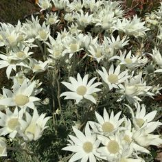 Flannel flower inspiration
