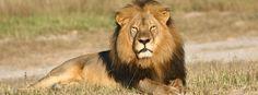 """Löwe Cecil (Archiv): Ermittlungen nach tödlicher Jagd auf den Löwen. DPA: """"Jetzt schalten sich auch US-Ermittler in den Fall des getöteten Löwen Cecil aus Simbabwe ein. Der Zahnarzt aus dem Bundesstaat Minnesota, der den beliebten Löwen aus dem Hwange-Nationalpark erschossen hat, muss sich möglicherweise in seiner Heimat für die Großwildjagd verantworten."""""""