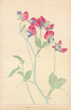 Chigusa Soun Flowers of Japan Woodblock Prints 1900 Sweet Pea Illustration Botanique, Japon Illustration, Botanical Illustration, Botanical Drawings, Botanical Prints, Watercolor Flowers, Watercolor Art, Iris Painting, Oriental Flowers