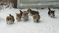 Running corgi puppies!