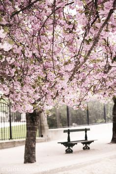 Cherry blossoms in Paris http://georgiannalane.com/2014/04/april-in-paris-clouds-of-pink.html?utm_content=bufferbfe46&utm_medium=social&utm_source=twitter.com&utm_campaign=buffer#comment-29334