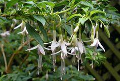Fuchsia magellanica 'Alba' - Arrosoirs et Sécateurs Alba, Plantation, Planting Flowers, Herbs, Plants, Image, Design, Gardens, Simple Flowers
