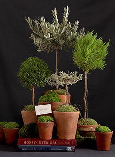 Indoor Garden ~ Olive tree, Rosemary, etc...