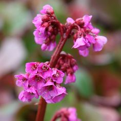 Bergenia cordifolia 'Purpurea' - bigger one if can't get Br Ruby. Leaves flush purple in winter. A robust plant for edging or groundcover