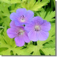 Staudenfoto zu Geranium procurrens 'Blue Sunrise ®' (Garten-Storchschnabel)