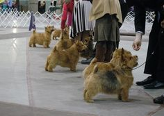 Norwich terriers in the show ring