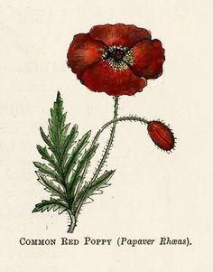 """Common Red Poppy (Papaver Rhœas)"" - Illustration by Kate Greenaway for ""The ""little folks"" nature painting book - A series of outline engravings for water-colour painting"" by George Weatherly; Cassell, Petter, Galpin & Co. - United Kingdom, France, United States (1880)"