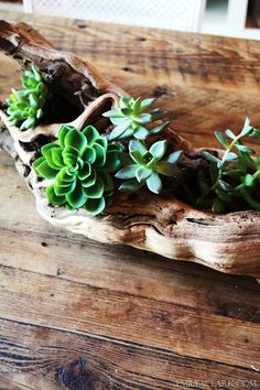 I absolutely love these succulents in this piece of driftwood. I so want to do this.