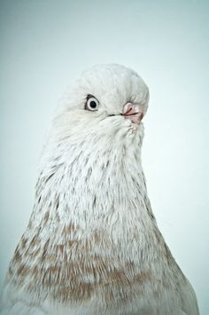Fancy Pigeon #14