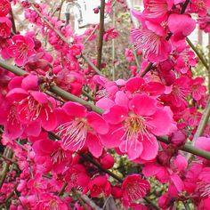 Prunus mume 'Beni-Chidori'