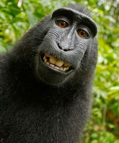 Image: David Slater - A group of monkeys have pioneered a new form of wildlife photography: taking self-portraits.  Photographer David Slater, was visiting a national park on the island of Sulawesi, Indonesia, when his camera was taken over by a group of crested black macaques. With the help of a local guide, Slater spent three days following and getting to know the group. He reports turning round for a few moments and coming back to find the monkeys taking their own snaps.