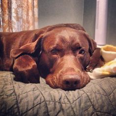 Chocolate lab, that looks exactly like my chocolate lab!