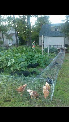 Chicken tunnel surrounding the vegetable garden.
