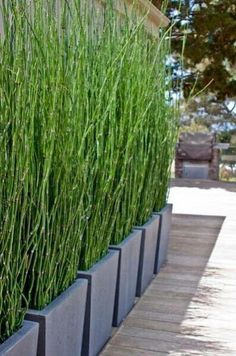 balcony architecture 10 Horsetail Reed Grass Looks Like Mini Bamboo (Equisetum hyemale) Pond Plant Privacy Screen Plants, Garden Privacy, Privacy Screen Outdoor, Backyard Privacy, Backyard Patio, Backyard Landscaping, Landscaping Ideas, Patio Wall, Landscape Design