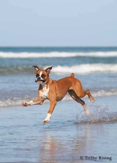 Boxer at the Beach @Melissa Henry