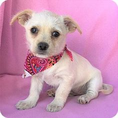 Burbank, CA - Terrier (Unknown Type, Small) Mix. Meet Iona Terrier Puppy, a puppy for adoption. http://www.adoptapet.com/pet/17773191-burbank-california-terrier-unknown-type-small-mix