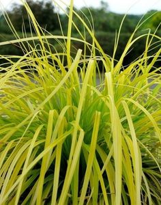 Carex oshimensis Everillo PP 21002 | Everillo Golden Weeping Sedge for sale $16.00 | Plant Delights Nursery