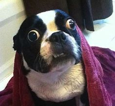 33 dogs that cannot even handle it right now
